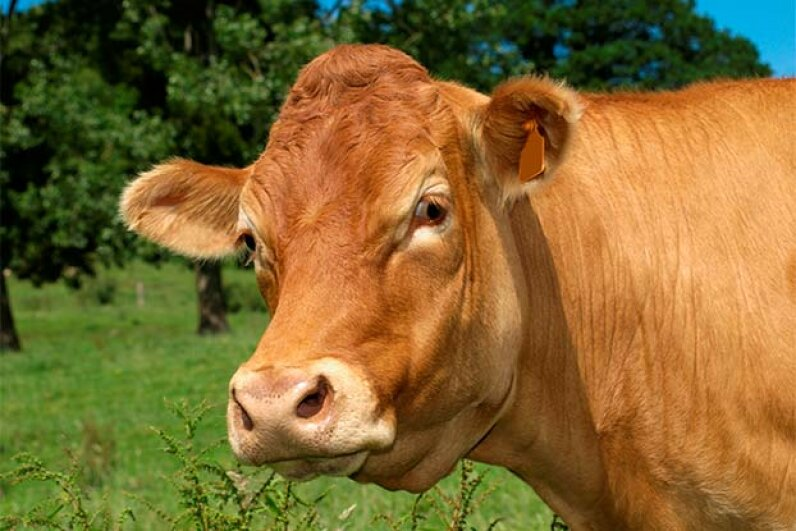 Cows in the U.S. are normally given large doses of antibiotics to encourage weight gain. However, that practice might be changing. alainolympus/iStock/Thinkstock