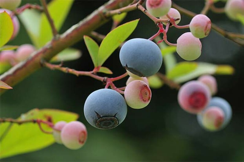 Pesticides containing antibiotics are often sprayed on blueberries and other fruits. TOSHIAKI ONO/amanaimagesRF/Thinkstock