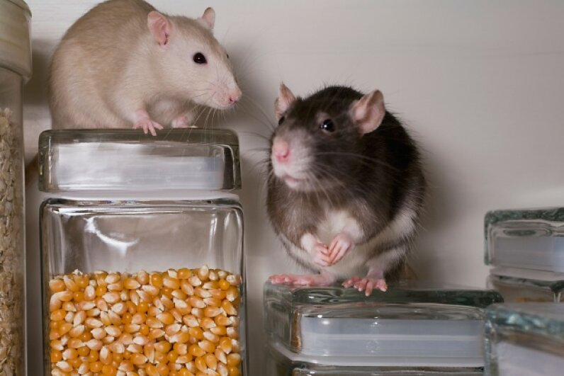 Food that's been in contact with rats may be contaminated with Streptobacillus moniliformis. © Renee DeMartin/Corbis