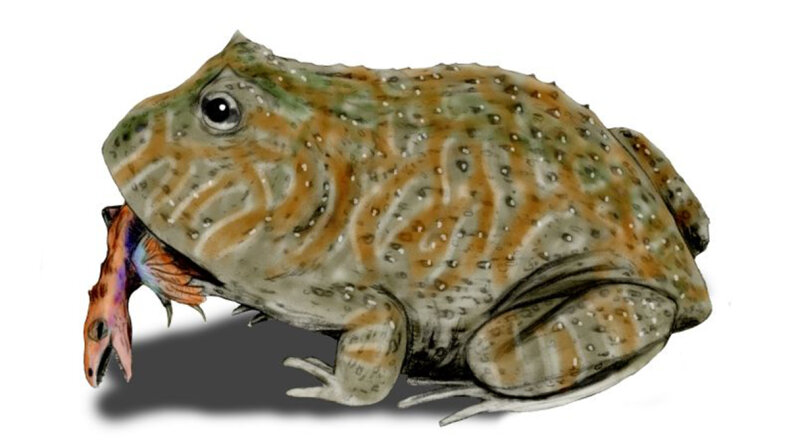 Experts theorize that the Beelzebufo's diet included small crocodylians and baby dinosaurs. CC Nobu Tamura