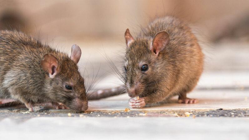 nibbling rats