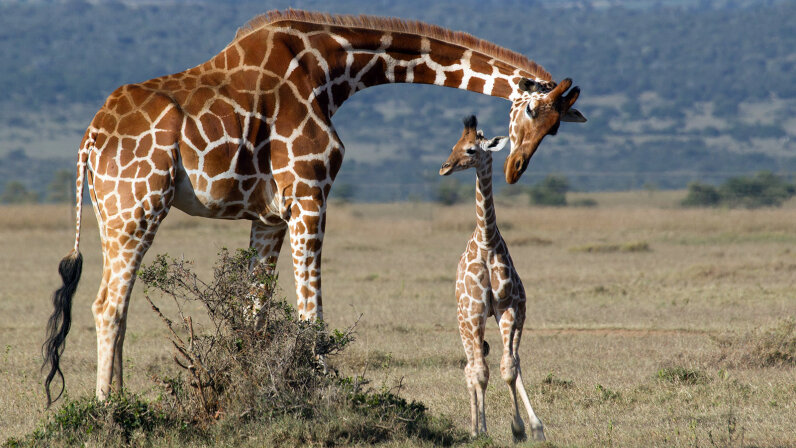 Baby Giraffes Get Their Spots From Mom | HowStuffWorks