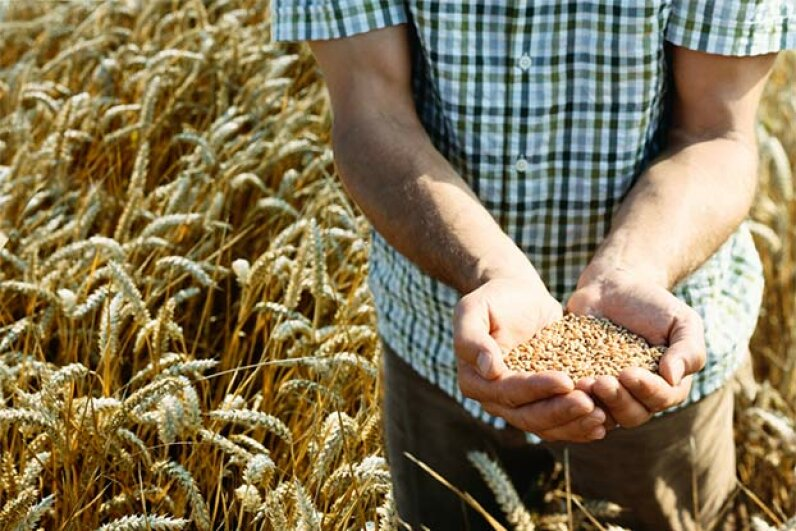 No evidence has been found that today's wheat contains more gluten than wheat of the past. Digital Vision/Thinkstock