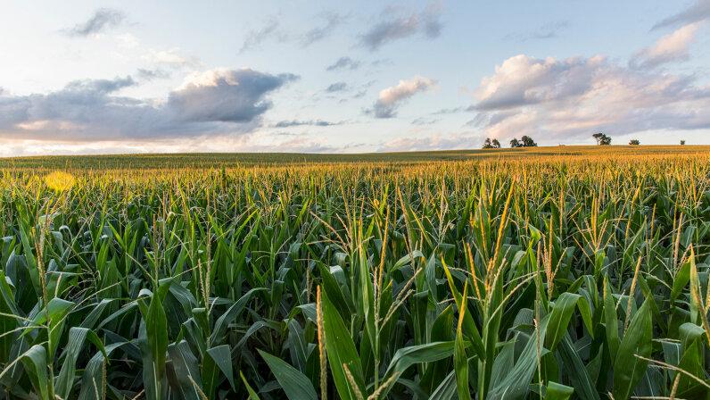 sun sets over a cornfield