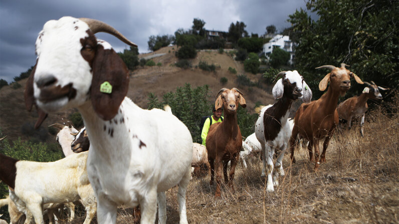firefighting goats