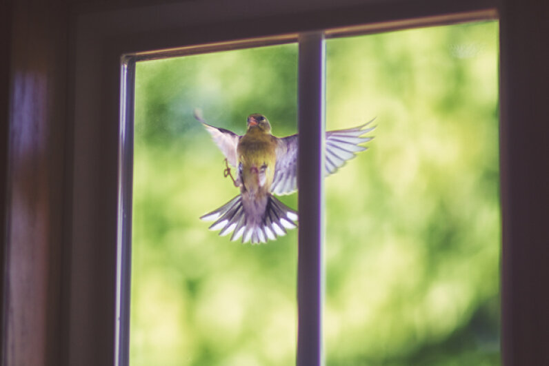 Goldfinch at the window? He's probably just fighting his reflection, not acting as a harbinger of doom. Rebecca Nelson/Getty Images