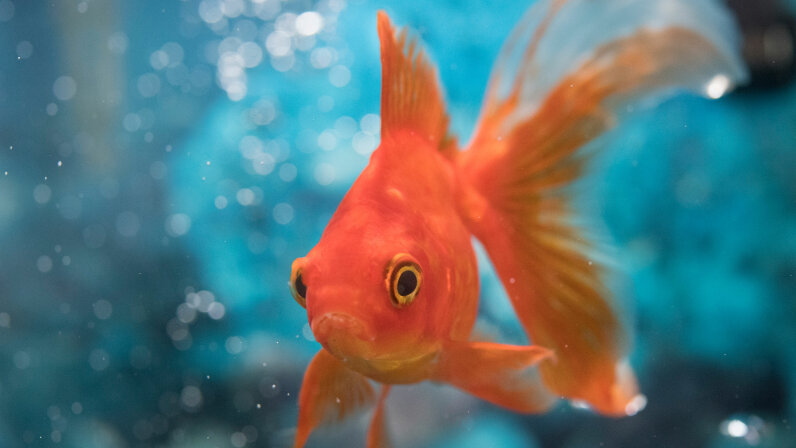 Goldfish don't make alcohol because they are lushes -- it is actually a survival mechanism.  manoa/Getty Images