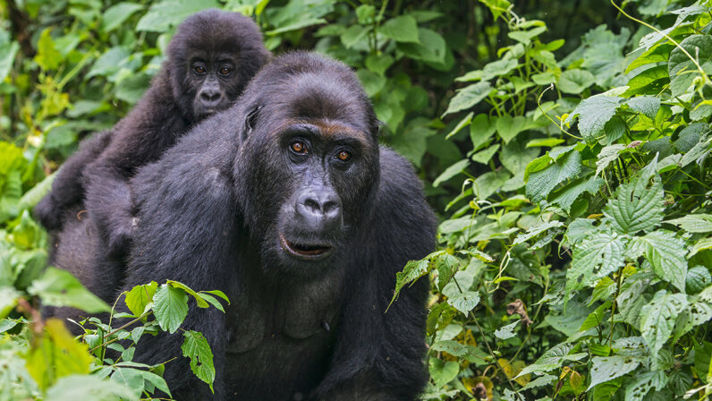 A young eastern lowland gorilla (Gorilla beringei graueri) rides on the back of its mother in Kahuzi Biega National Park, Democratic Republic of Congo. Guenter Guni/Getty Images