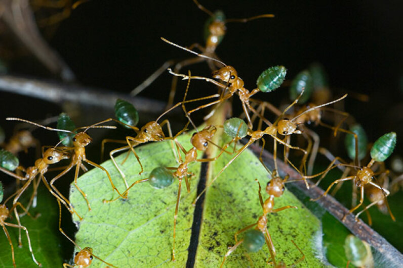 Green tree ants weave leaves together to form a nest. Getting some ants for the tea might be hard as they're pretty aggressive. Auscape / UIG/Getty Images