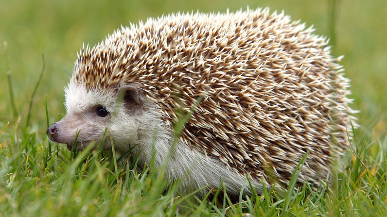 When hedgehogs are injured or have an infection, air stuck beneath their skin can cause them to inflate like balloons. Justin Sullivan/Getty Images