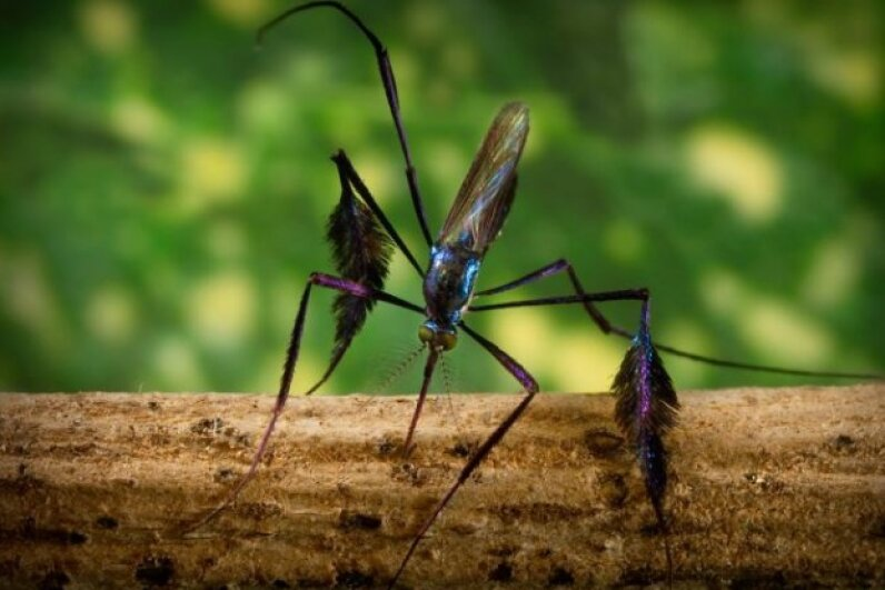 This colorful mosquito is called Sabethes cyaneus. Some species from the Sabethes genus are a reservoir for yellow fever. Carlos Juan Finlay first connected mosquitoes to yellow fever back in the 19th century. Image courtesy James Gathany/Centers for Disease Control and Prevention