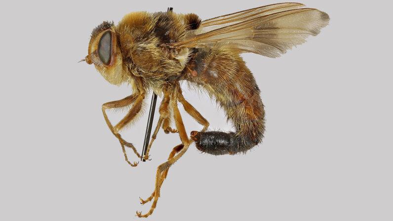 horse botfly