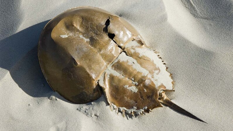 horseshoe, crab