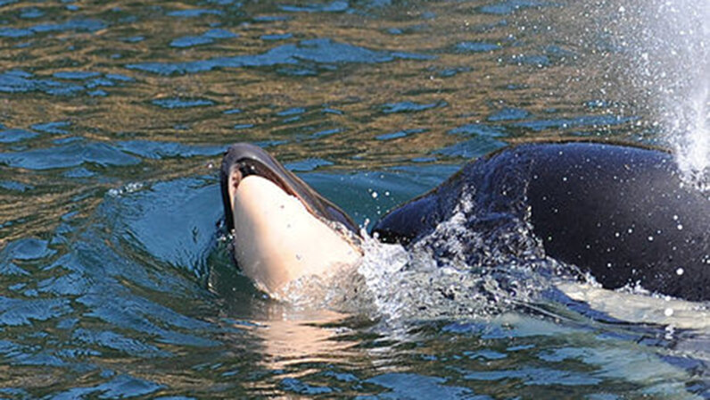 Southern Resident Orca J35 pushes her female dead calf