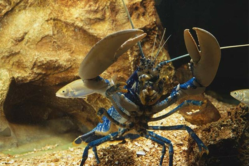Lobsters love to fight and female lobsters adore the most aggressive one in the bunch. Here's a lobster in his fighting stance. Geoff Brightling/Dorling Kindersley/Getty Images