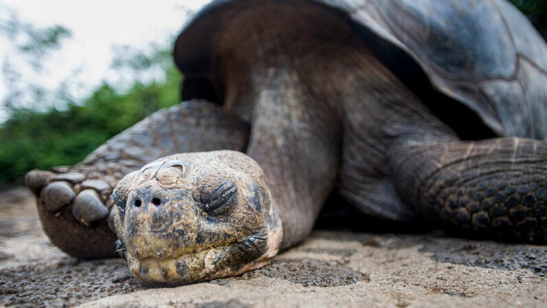 Lonesome George tortoise