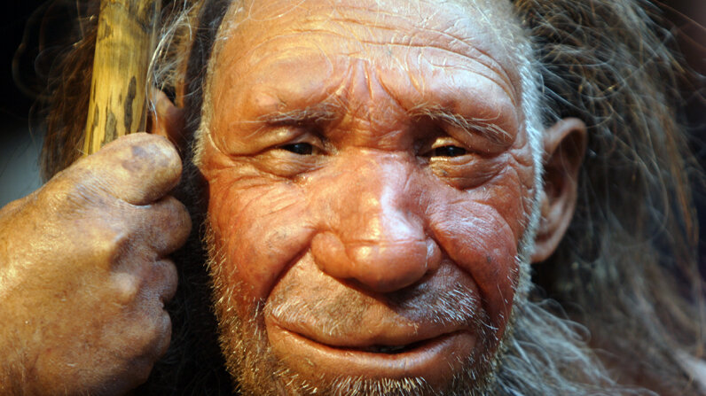 A reconstructed Neanderthal man is located in the the Neanderthal Museum in Mettmann, Germany, where the first-ever Neanderthal was discovered in 1856. Markus Matzel/ullstein bild via Getty Images