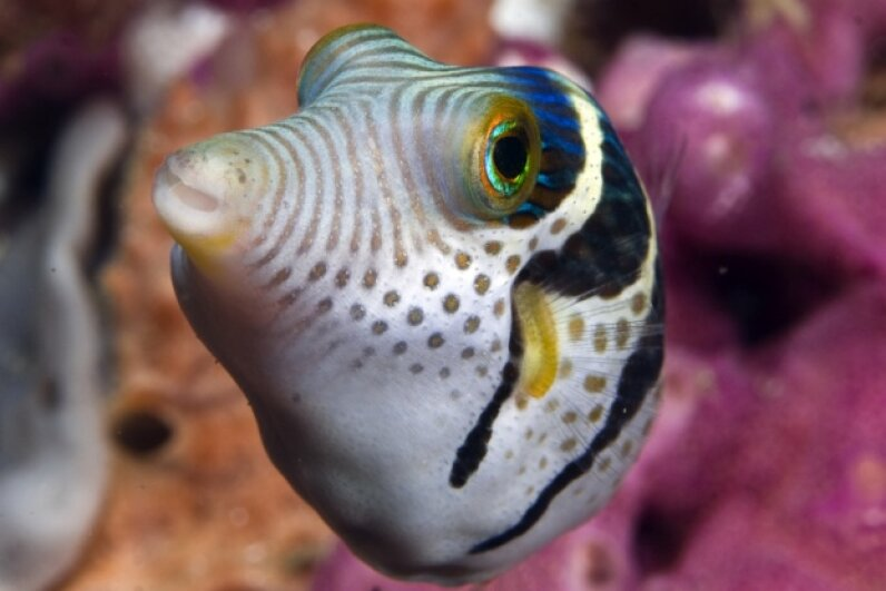 Scientists scooped up eight black-saddled puffer fish (like the ones pictured here) to examine the puffer fish's signature response more closely. It wasn't what we thought. photo acqua e luce di mauro mainardi/Getty Images