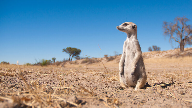 A heavily pregnant meerkat sits  in a dry river bed, watching for predators. A new study suggests that meerkats identify group members and potential mates with help from odor-producing bacteria in their hindquarters. Dominic Cram/Getty Images