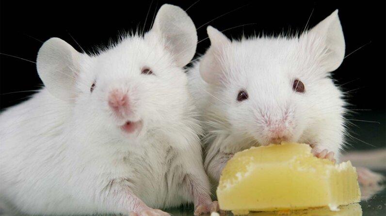 mice, taste