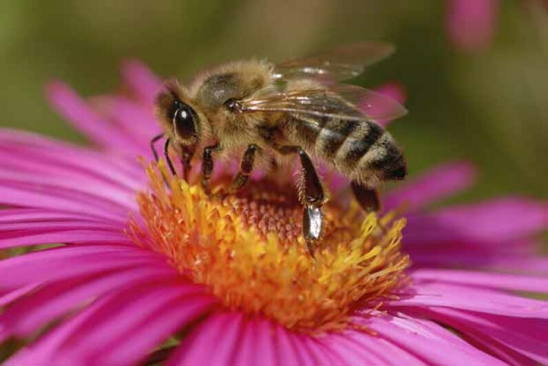 Honeybee populations have declined dramatically in some countries but are GMOs to blame? iStock/Thinkstock