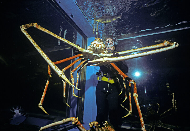 The Tokyo Aquarium has a specimen of the Japanese spider crab, the world's largest crustacean. Jeff Rotman/Getty Images