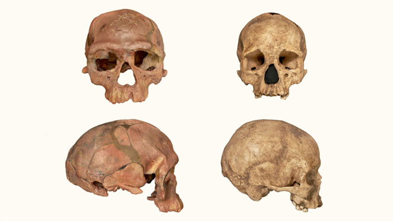 A cast of approximately 350,000–280,000-year-old fossils from Jebel Irhoud in Morocco, left, could represent an early stage in Homo sapiens evolution. The skull cast on the right comes from an approximately 20,000-year-old Homo sapiens fossil found in Abri Pataud, France. NHM London
