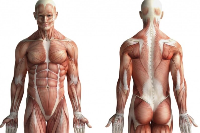 Muscle and fat are different types of tissue —one can't morph into the other.  © cosmin4000/iStock/Thinkstock