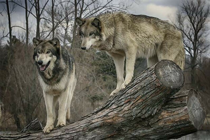 Despite their pack behavior, wolves prefer to be left alone by humans and can be easily frightened off if you do it correctly. yairleibo/iStock/Thinkstock