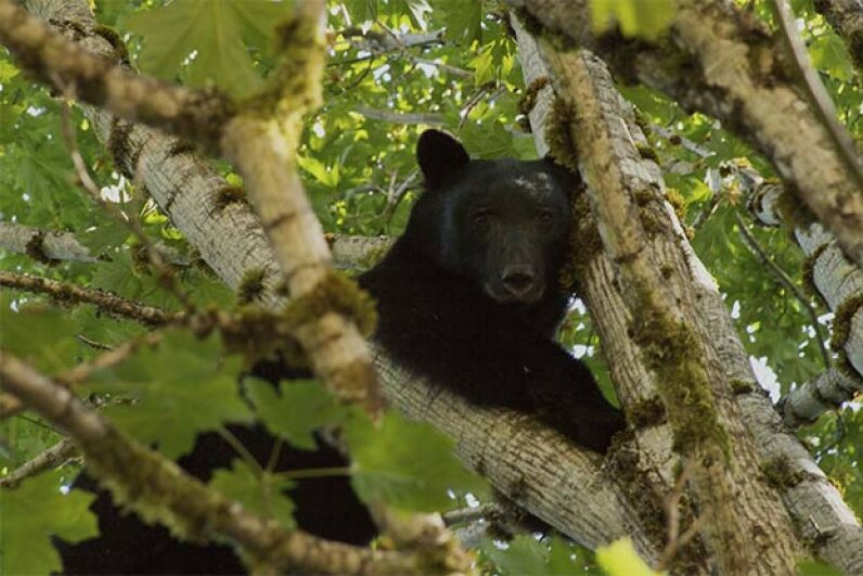 Black bears tend to climb trees rather than attack humans. Grizzlies, on the other hand, are more aggressive. Alsandair Toms/iStock/Thinkstock