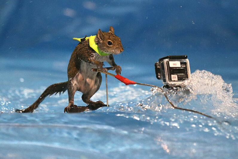 Twiggy the waterskiing squirrel always wears a little vest to promote water safety. Steve Russell/Toronto Star via Getty Images