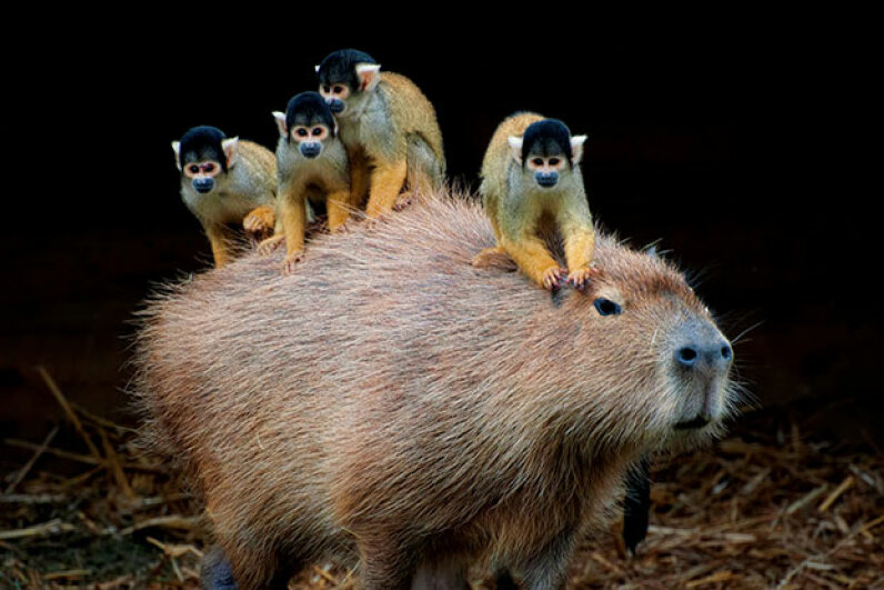 Capybaras seem to have motherly instincts. Here's one letting a herd of spider monkeys catch a ride. shot by supervliegzus/Getty Images