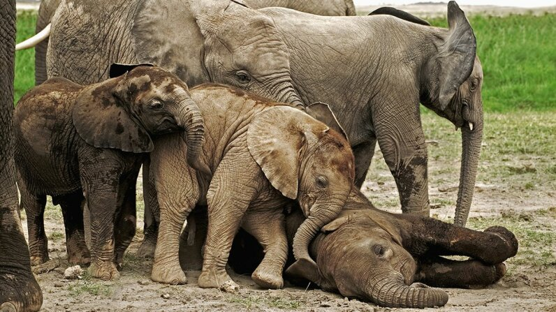 Elephants playfully nudge a calf as it attempts to rest. Martin Harvey/Photolibrary/Getty Images