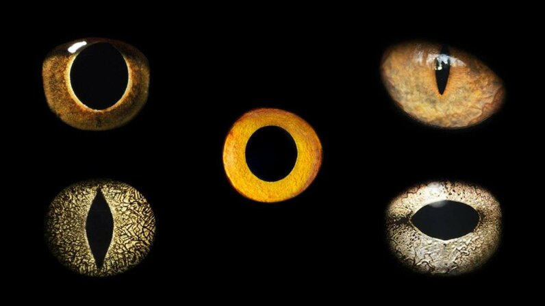 The shape of animal eyes is influenced by whether it is an ambush hunter or the huntery's prey. JonathanKnowles/DavidMaitland/GettyImages