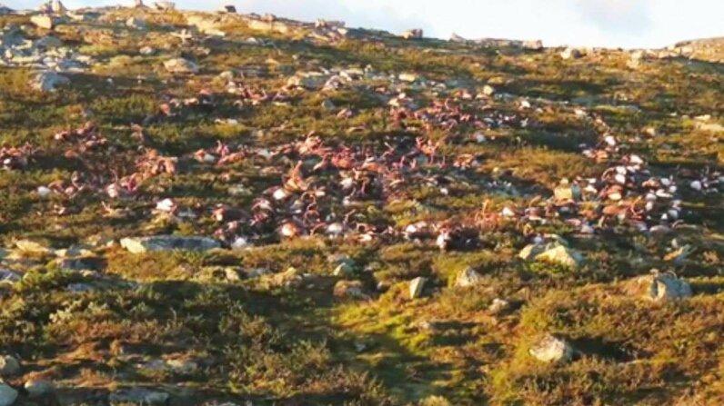 Lightning kills 300 reindeer in Norway Reuters