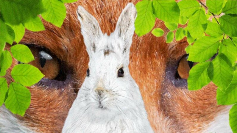 Thanks to rapid climate change, the snowshoe hare's coat, once a camouflage, may be a life-shortening disadvantage. Thinkstock/Getty/HowStuffWorks