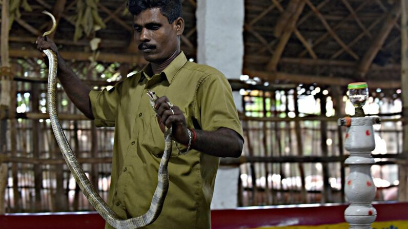 An Irula tribesman and snake catcher named Kali prepares a cobra for venom extraction in India. ARUN SANKAR/AFP/Getty Images