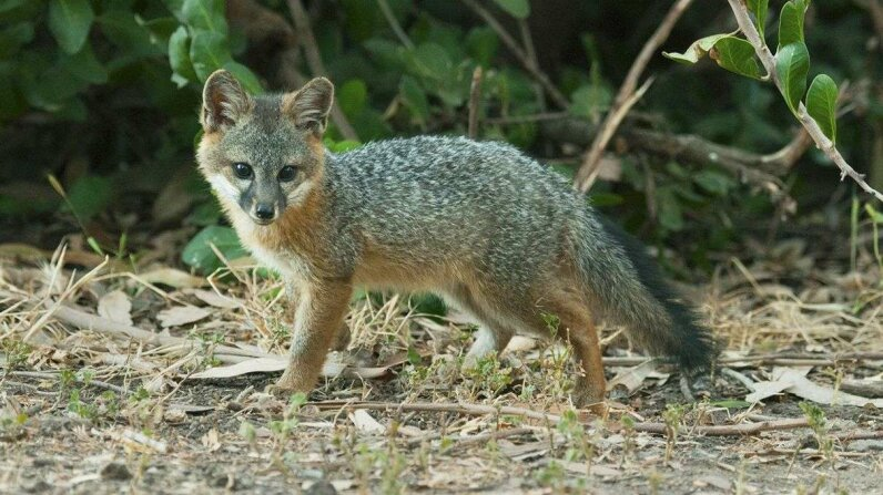 Island Fox Announcement Video U.S. Fish and Wildlife Service