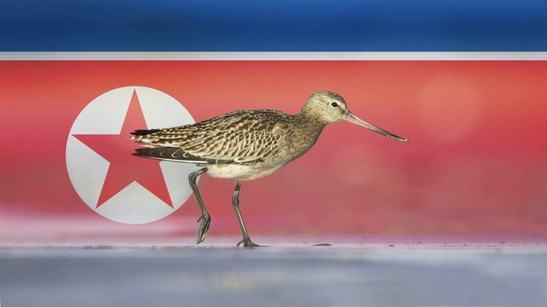 The bar-tailed godwit (Limosa lapponica) is one of the bird species thriving in North Korea's undeveloped coastal regions. Fotosearch/Getty Images