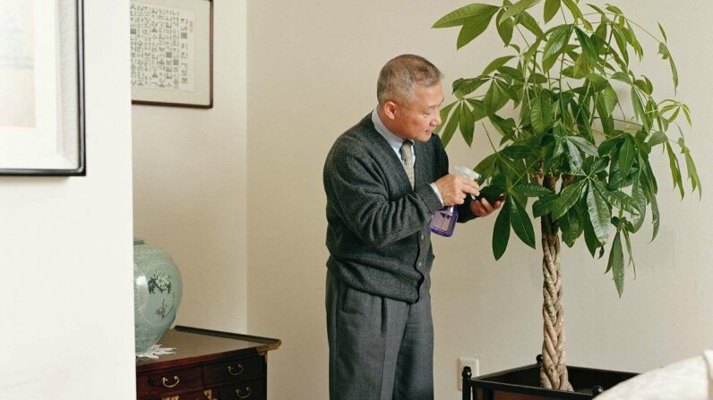 The Chinese money tree is popular because it's easy to care for and is important in feng shui, as a symbol of wealth. Sean Justice/Getty