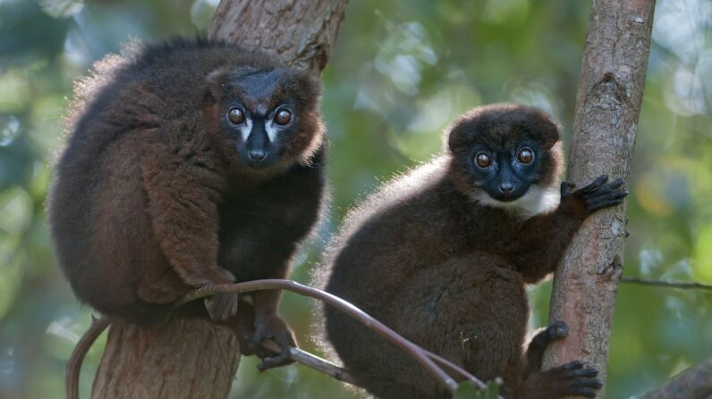 Do these lemurs look identical to you? New face recognition software can tell them apart. Bernard Castelein/Nature Picture Library/Getty Images