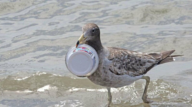 A juvenile Andean gull takes a plastic tub in its bill. A new study explains why birds eat so much plastic. Rick Price/Getty Images