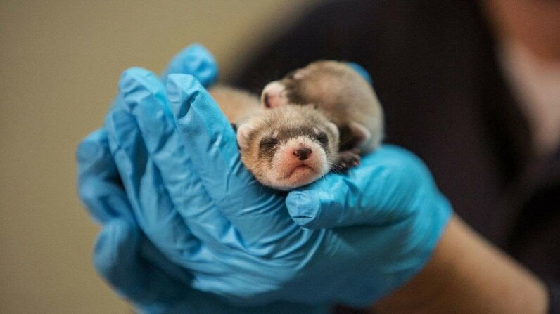 Paul Marinari, the senior curator of animal operations at the Smithsonian Conservation Biology Institute, holds newborn black-footed ferrets on July 24, 2014. Researchers have used frozen sperm to help this endangered species recover.  Evelyn Hockstein/For The Washington Post via Getty Images