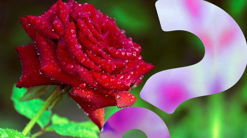 HowStuffWorks NOW: A Cyborg Rose By Any Other Name HowStuffWorks