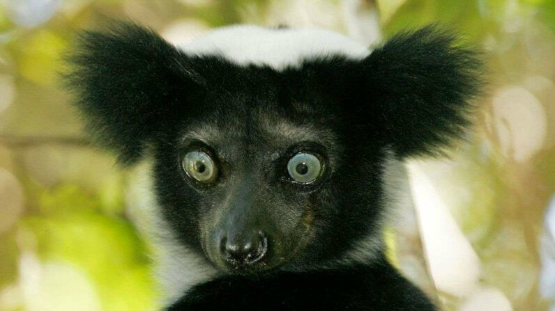 An indri lemur from Madagascar has its own special vocalization technique. Bernd Wasiolka/McPhoto/ullstein bild via Getty Images