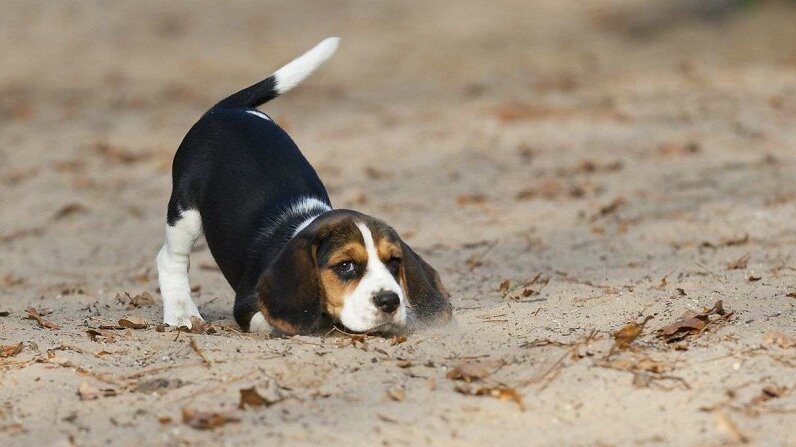 "The painful condition ""limber tail"" sees dogs' normally waggable appendages lose their mobility. Hana Surfer/Getty Images"