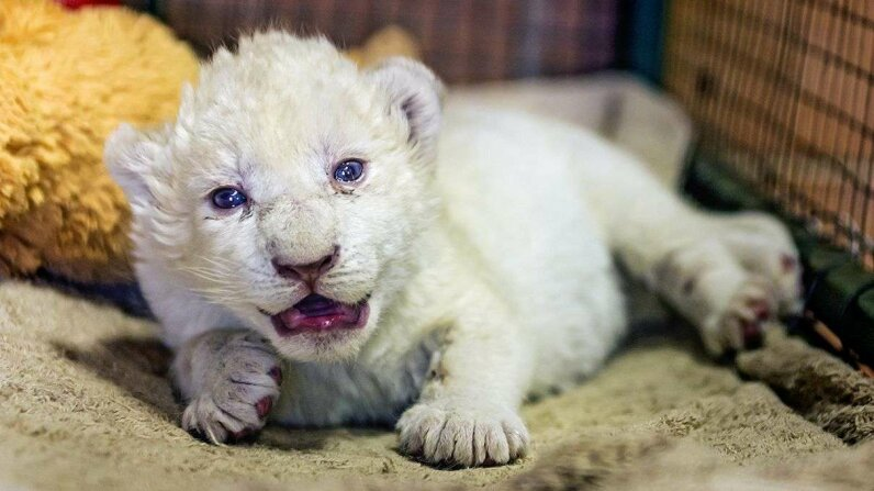 Triple joy for Georgian zoo as three rare white lion cubs are born Reuters