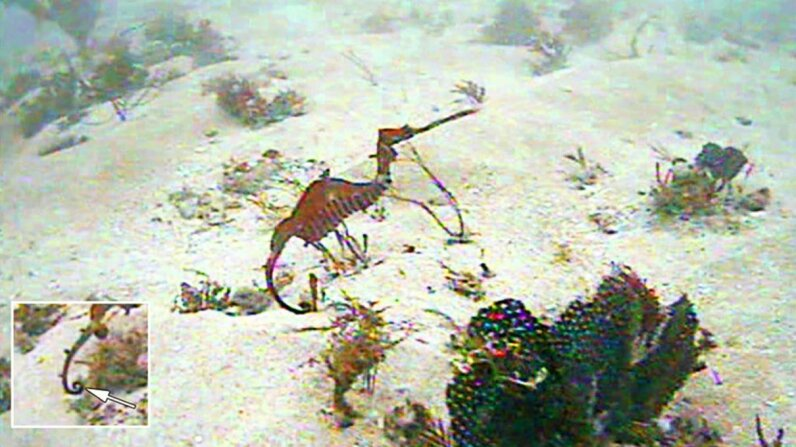 Ruby Seadragon First Glimpse in Wild Scripps Institution of Oceanography/Western Australia Museum.