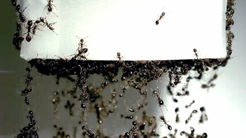 NOW Video: How Are Fire Ants Like Ketchup? Its All in How They Flow HowStuffWorks