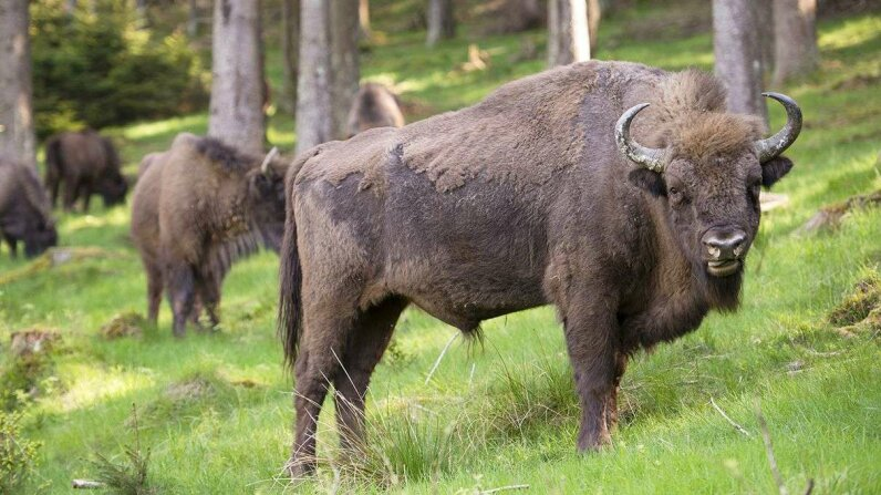 A recent study examined the decision-making process of herds of European bison. Thomas Lones/Getty Images